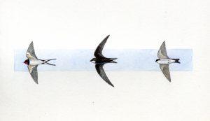Golondrina común, vencejo común y avión común/ Ilustración de José Manuel Onrubia Baticón