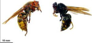 Vespa crabro vs Vespa velutina / Ministerio de Agricultura, Alimentación y Medio Ambiente. Monceau et al., 2014